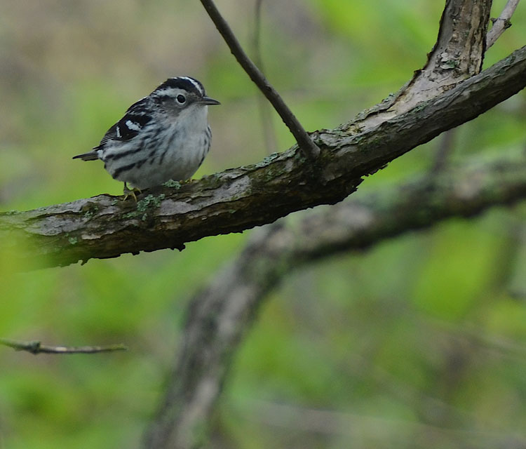 ...sitting pretty! You can tell this is a female Black and White Warbler because her cheek is gray in stead of black.