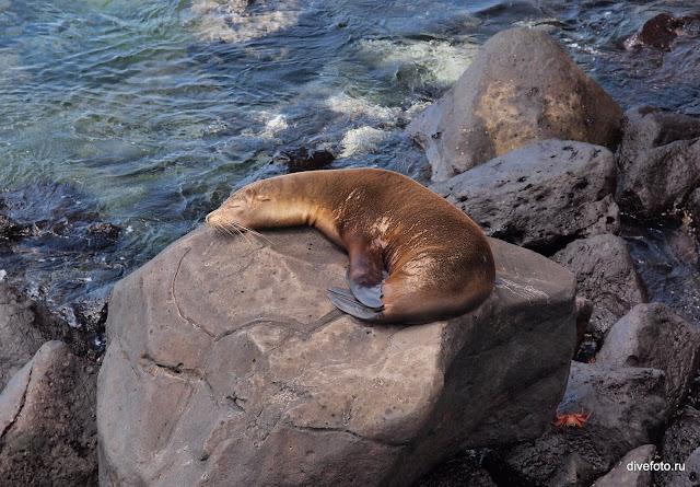 Морской лев на солнышке ГАлапагосы