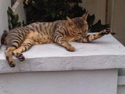 Kucing Kampung Meoong