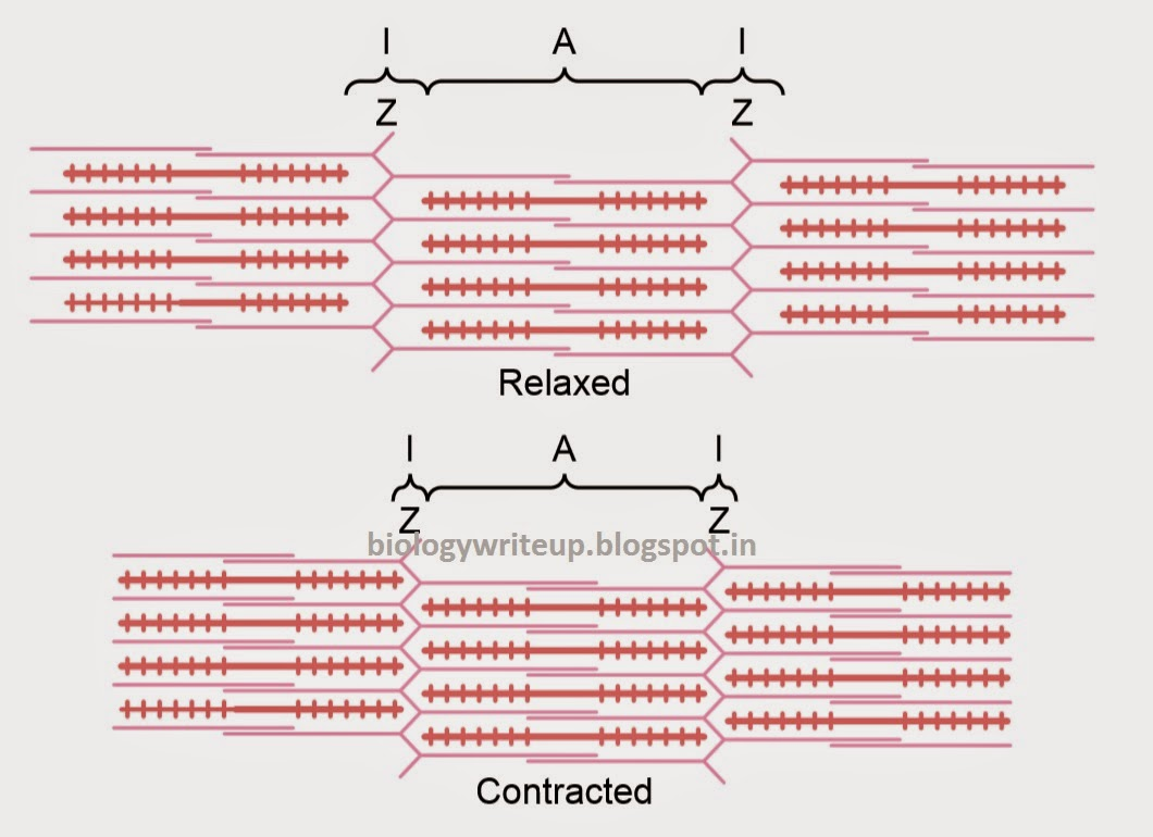 muscles and the sliding filament theory According to the sliding filament theory, muscle contraction occurs through the relative sliding of two sets of filaments ( actin and myosin)this sliding is produced by cyclic interactions of sidepieces from the myosin filament ( cross-bridges) with specific sites on the actin filament.