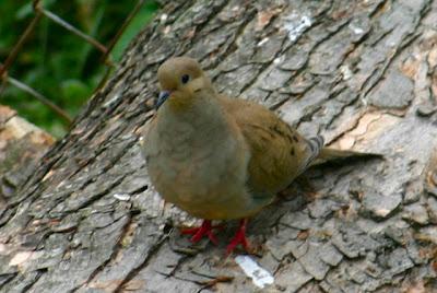 صور اجمل طيور الحمام واقفة على جذع شجرة