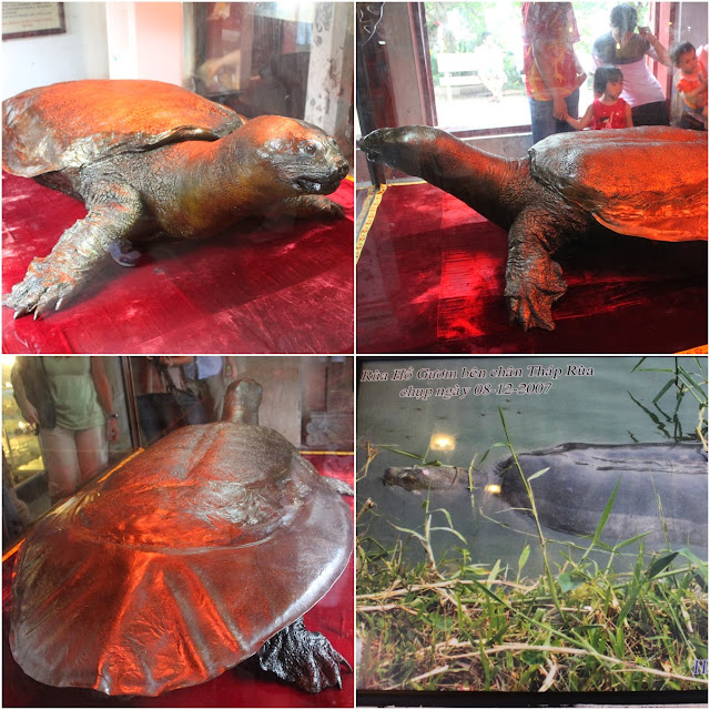 The preserved legendary of the lake's giant tortoise who took the magic sword of Le Loi and was found in 1968 on Hoan Kiem Lake in Hanoi, Vietnam