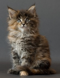 Price range of Maine Coon Kitten