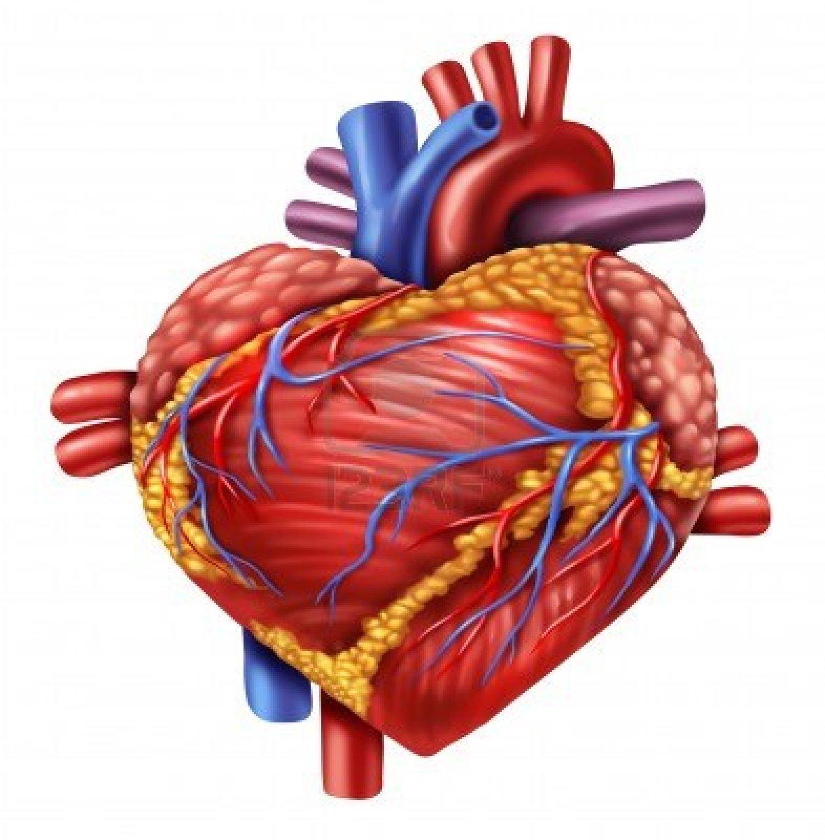 Im gen del corazon humano imagui for Fotos del corazon
