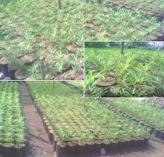 budidaya tanaman hias aralia
