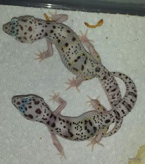 PA-Gecko-Total-Mack-Snow-White-Yellow