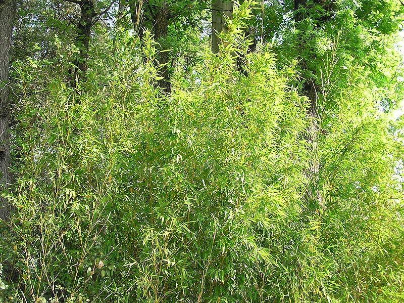 Bambou par aristote olduva - Replanter un bambou coupe ...
