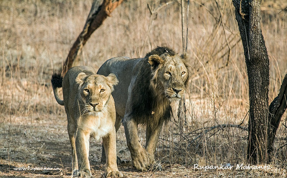 lion and asiatic lions essay Lions do not generally kill animals it is the lioness which hunts for feeding her family including her cubs and the lion lions are found in the jungle of africa, and also in some parts of india.
