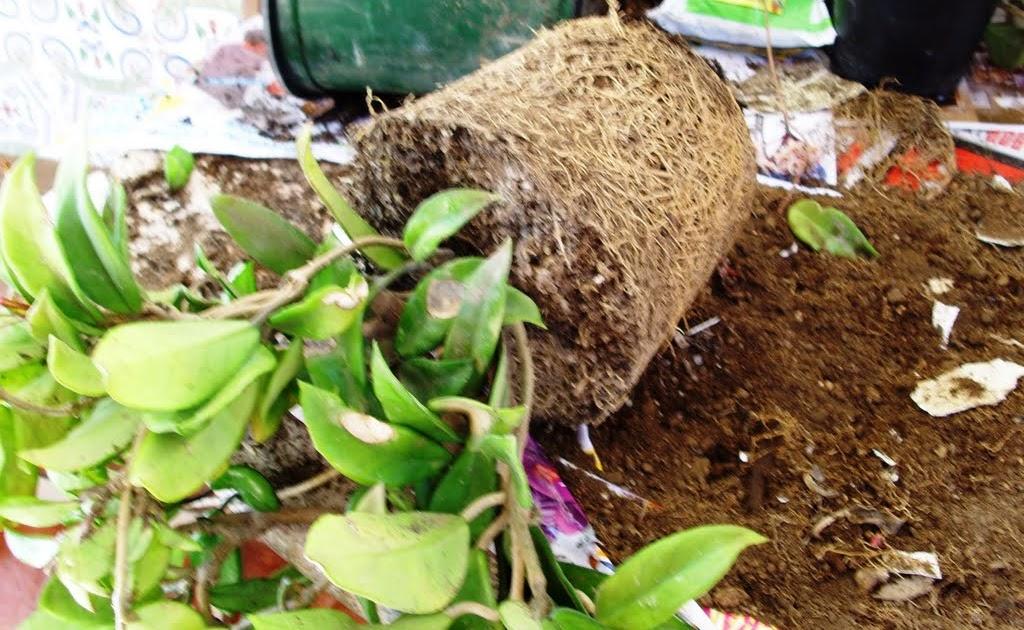 Piante da vaso Hoya Fiore di cera Hoya angustifolia