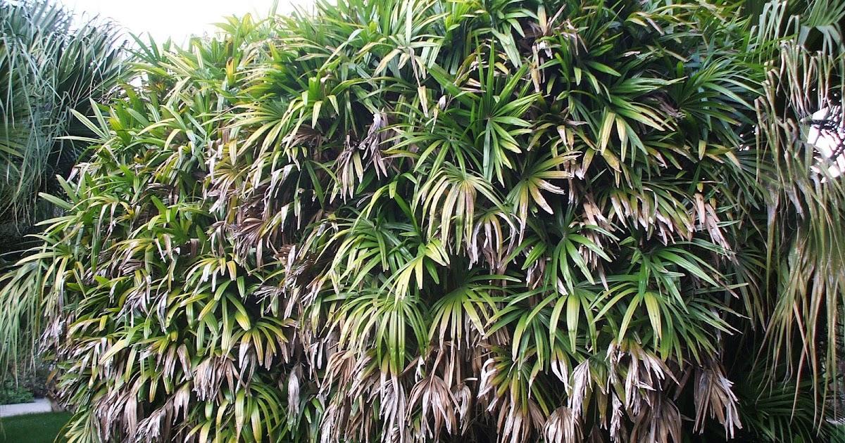 Palmier bambou jonc flore de l le de la r union for Entretien jardin reunion