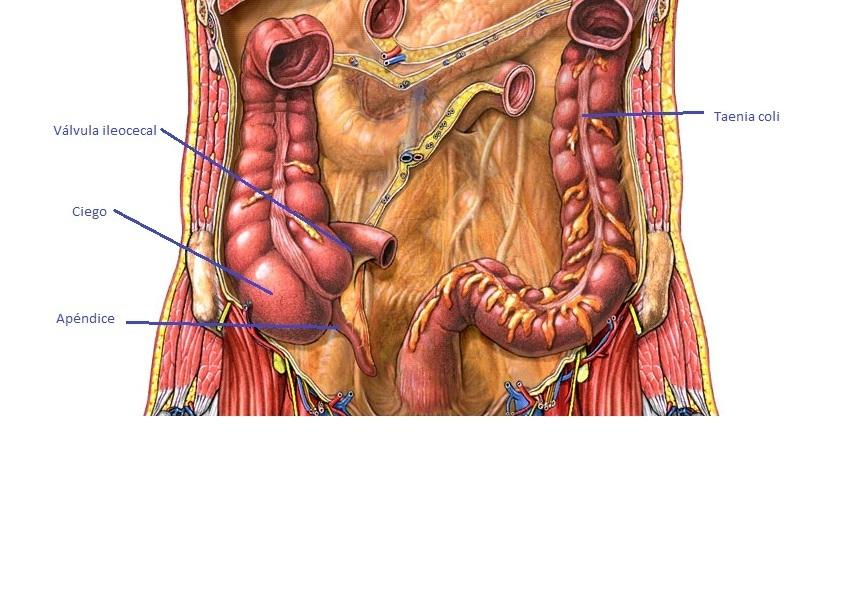 Sistema Digestivo - Anatomía y Función | Sistemas del Cuerpo Humano
