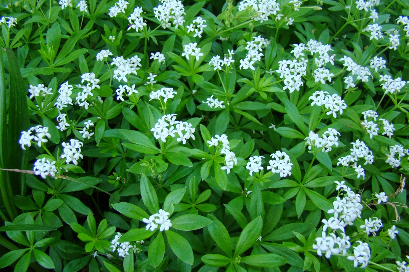 Sweet Woodruff (Asperula Odorata) Overview, Health Benefits, Side effects