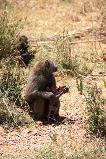 babuins, babuino, monos africa, África, Kenya, animales Kenya, animals Kenya
