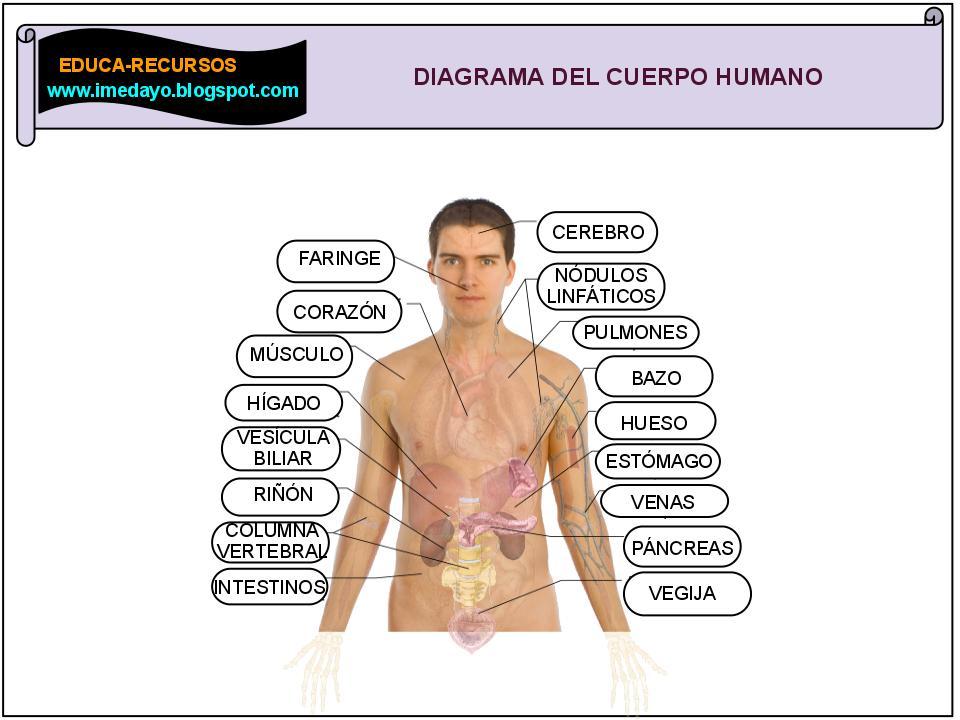 Vistoso Diagrama De órganos Humanos Para Los Niños Patrón - Anatomía ...