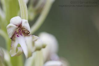 orchis bouc fleur sauvage fleur ressemblant à un personnage