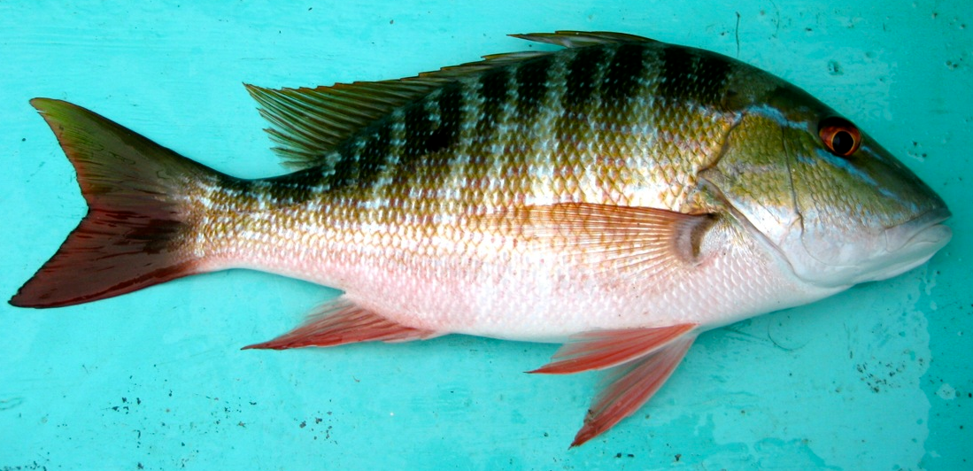 Image gallery snapper identification for Snapper fish florida