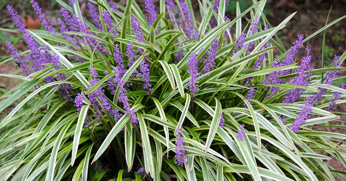 Egg and death journal botanical name liriope muscari for Variegated grass plant