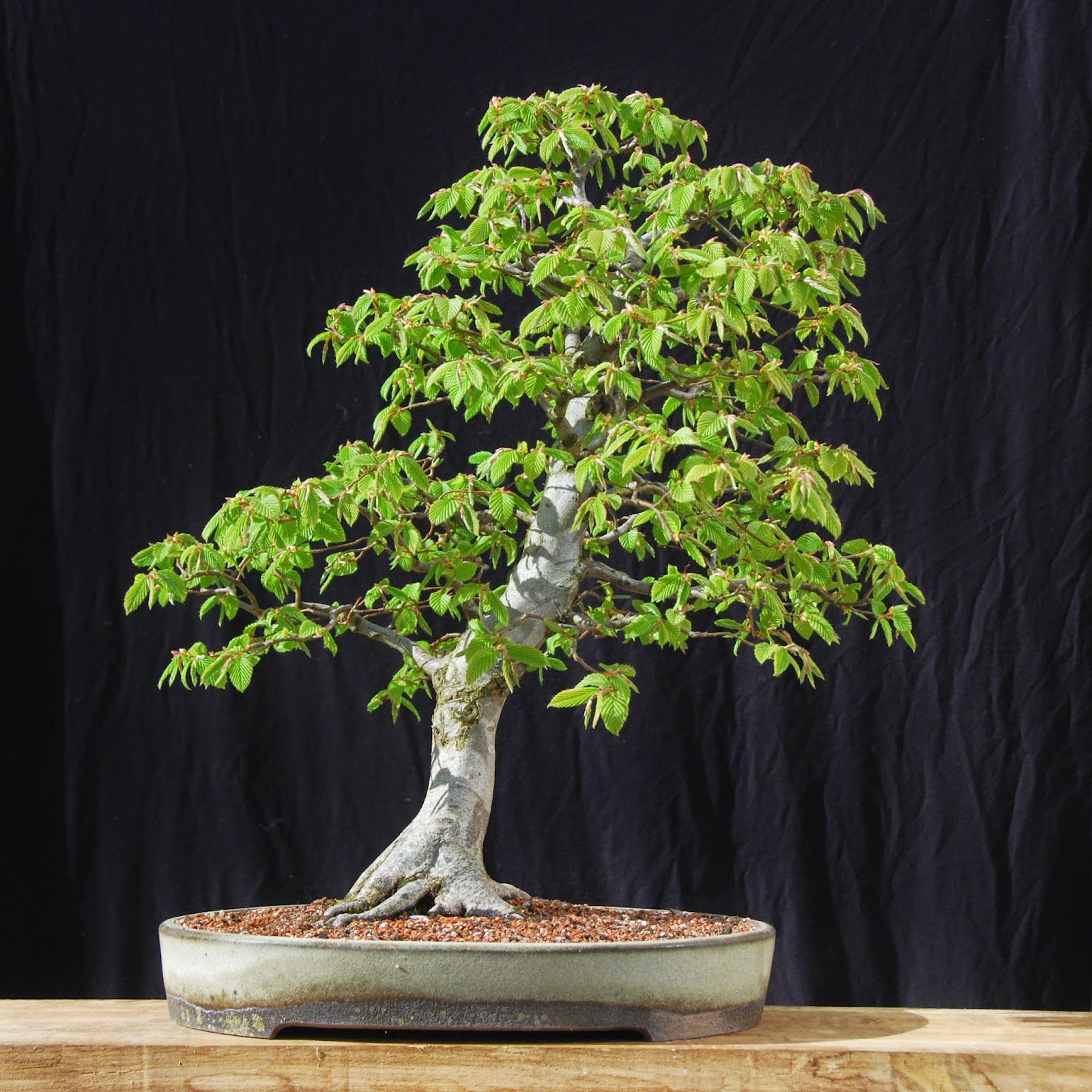 Silva Naturalis Hornbeam Bonsai 6 Years Of Development