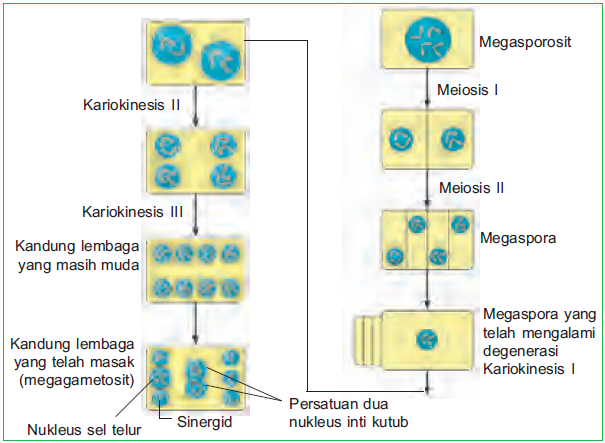 Gametogenesis pada tumbuhan mikrosporogenesis dan megasporogenesis diagram megasporogenesis ccuart Image collections