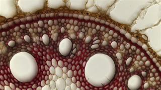 interior de la caña de azúcar