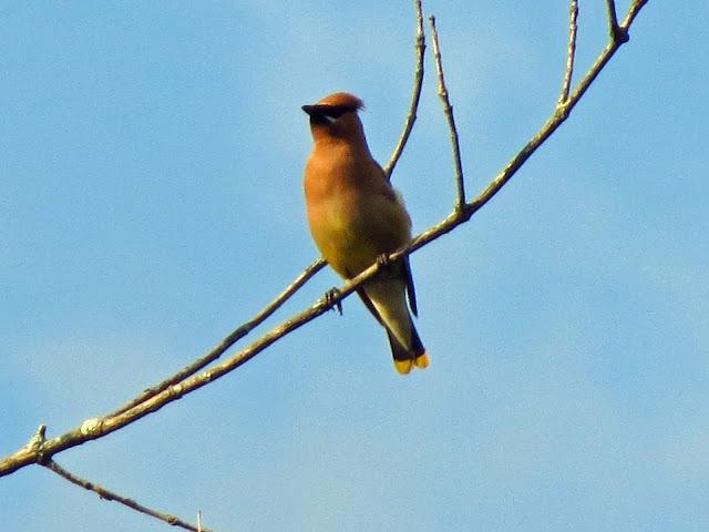 cedar waxwing perched high