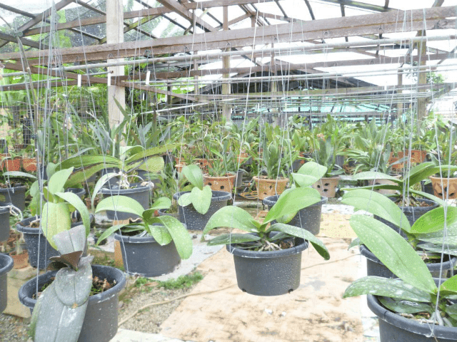 Orkid Liar
