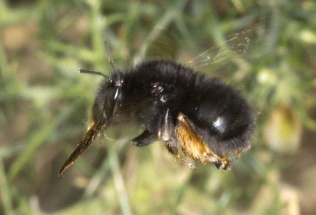 Hairy-footed Flower Bee, Anthophora plumipes.  Female.  West Wickham Common, 21 March 2012.