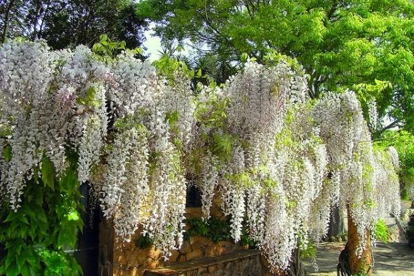 Jardines con glicinias wisteria alrededor del mundo for Glicina planta