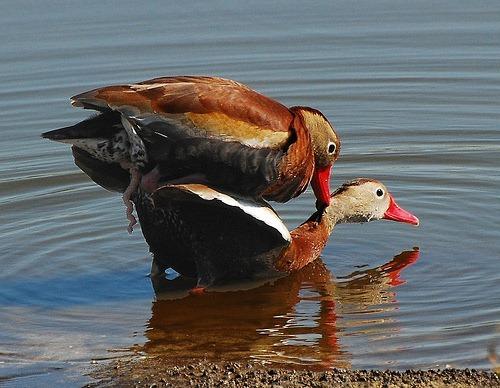 Duck sex xxx images 26