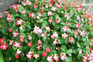 How We Grow Impatiens