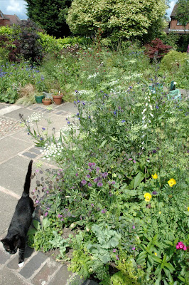 Tuckshop garden  with lots of lacy white ammi majus and blue anchusa