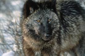 serigala tua yang lumpuh