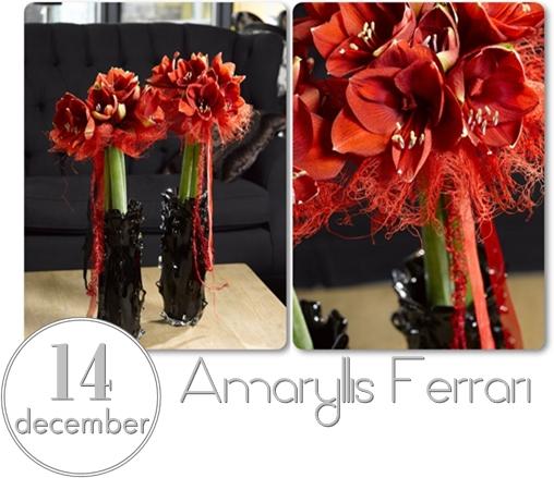 röd amaryllis, amaryllis ferrari