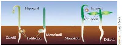 Tahap-tahap Proses Terjadinya Perkecambahan Epigeal dan Hipogeal pada Tumbuhan
