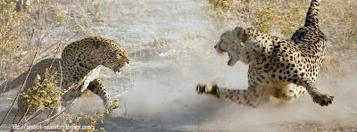 Couverture facebook leopard sauvage