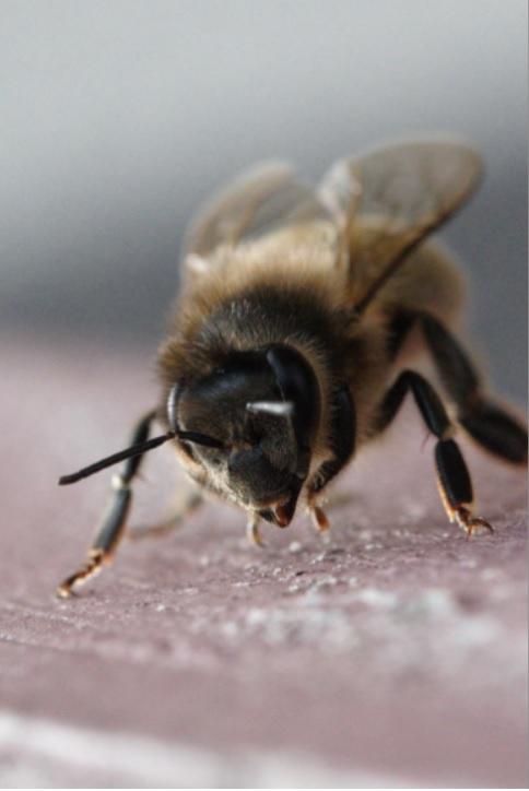 L'abeille noire, une abeille unique et exceptionnelle...