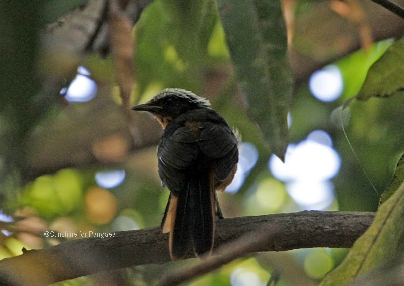 white-crowned robin-chat in the Brufut Forest in The Gambia