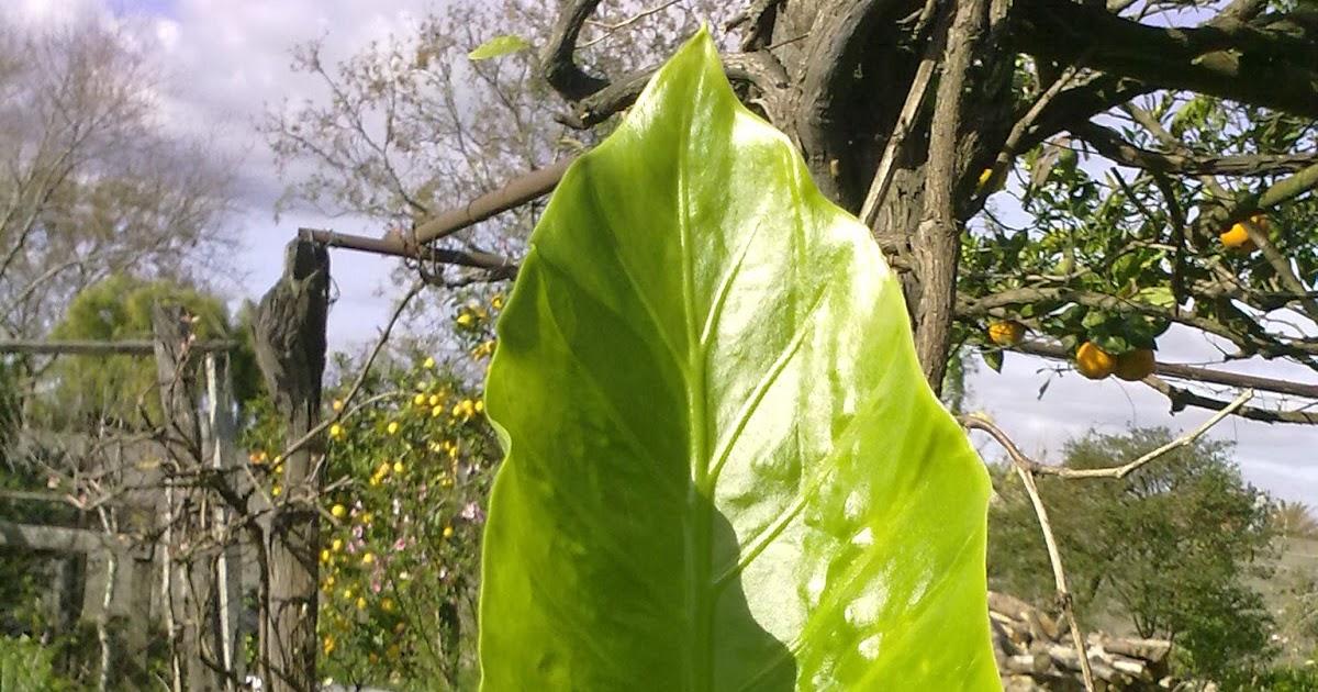 Plantas y flores oreja de elefante alocasia macrorrhiza for Planta ornamental oreja de elefante