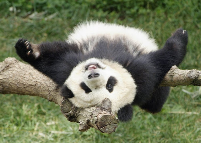 beautiful animals sleeping panda bear animal picture
