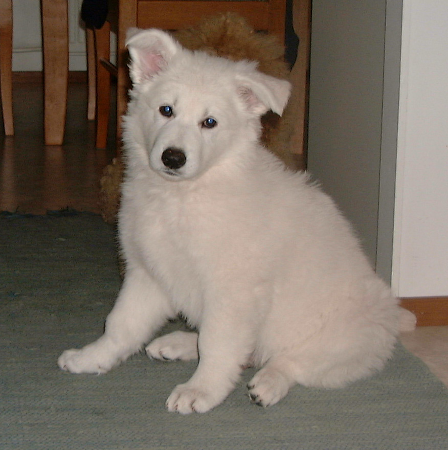 White Shepherd Dog Type of Dogs
