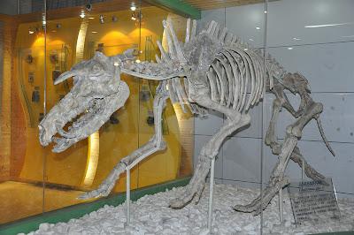 Kubanochoerus skeleton