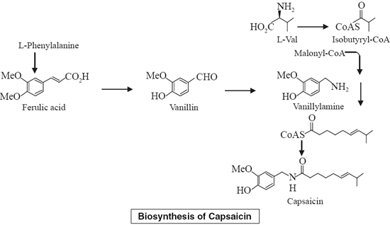 Biosynthesis of Capsaicin