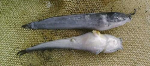 jenis penyakit pada ikan lele