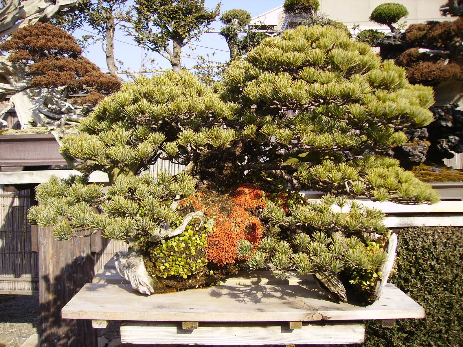 Ashfield Bonsai Club Mr Kimura39s Nursery