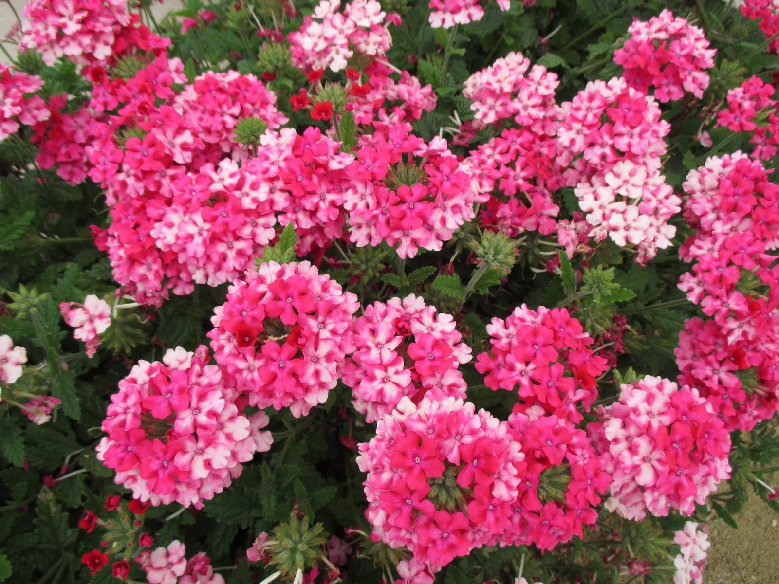 The Value of Verbena Rotary Botanical Gardens