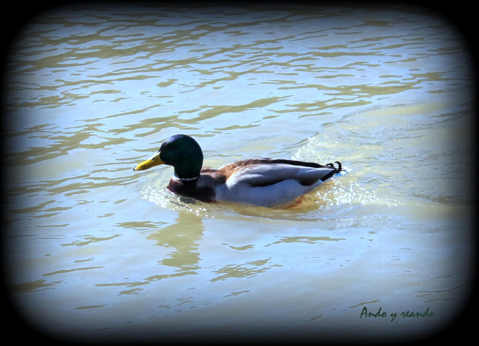 Ánade Real en el río Tajo