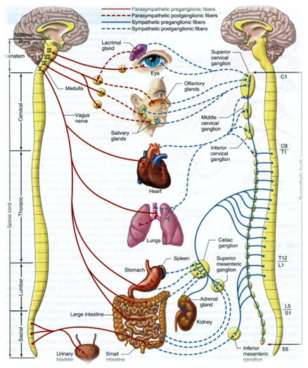 Brain Spinal Cord And Nerves Are Brain And Spinal Cord