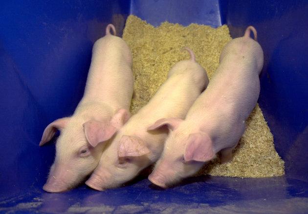 Γενετικά μεταλλαγμένα γουρουνάκια προς πώληση για κατοικίδια