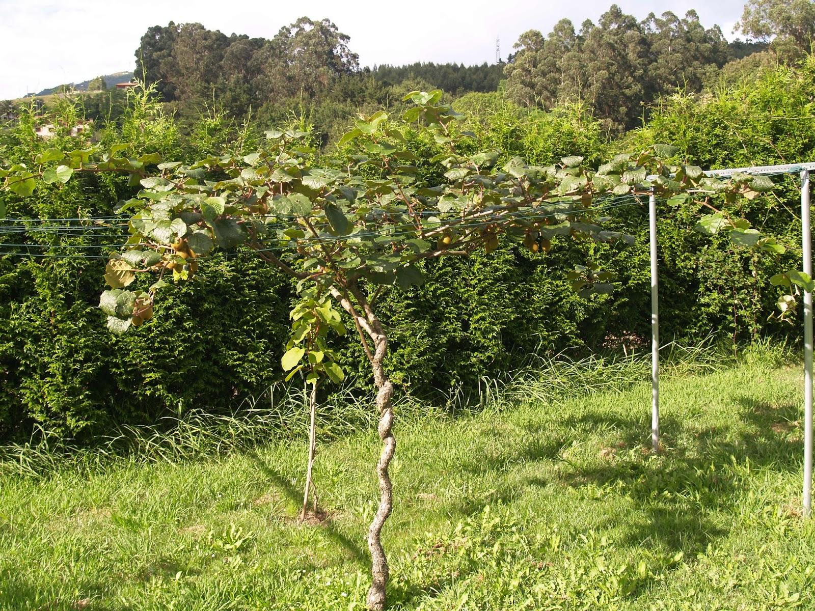 easy garden jardiner a kiwi kiwifruit. Black Bedroom Furniture Sets. Home Design Ideas