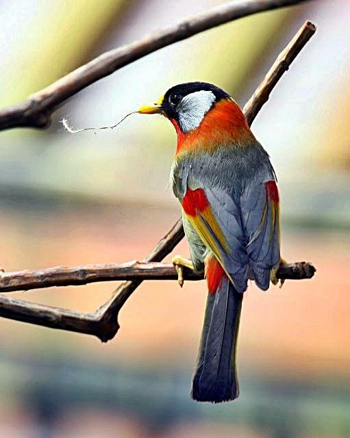 Mengenal Burung Pancawarna